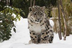 在雪的雪豹Cub与树 免版税库存照片