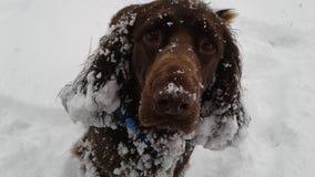 在雪的领域西班牙猎狗 免版税图库摄影