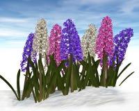 在雪的风信花 免版税库存图片
