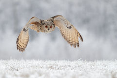 在雪的飞行猫头鹰 免版税库存照片