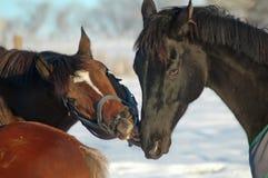在雪的马作用 免版税图库摄影