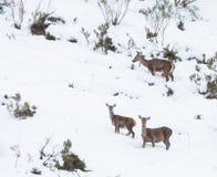 在雪的马鹿 免版税图库摄影