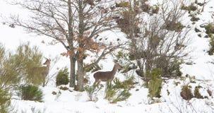在雪的马鹿 免版税库存照片
