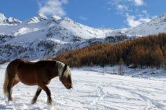 在雪的马 图库摄影