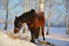 在雪的马 免版税图库摄影