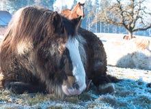 在雪的马 免版税库存照片