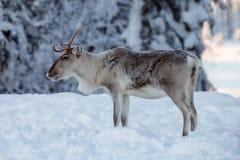 在雪的驯鹿 免版税图库摄影