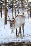 在雪的驯鹿 免版税库存图片
