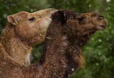 在雪的骆驼 免版税库存照片