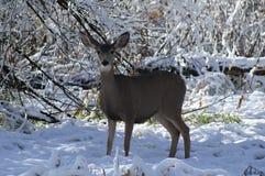 在雪的骡子有耳的母鹿 免版税库存图片