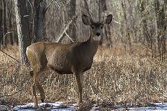在雪的骡子有耳的母鹿 免版税库存照片