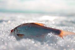 在雪的鱼 库存图片
