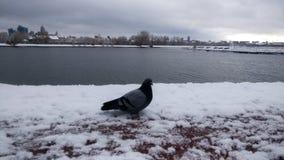 在雪的鸠在冬天公园 免版税库存照片