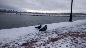 在雪的鸠在冬天公园 库存照片