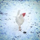 在雪的鸡 库存照片