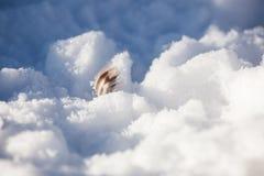 在雪的鸭子羽毛 库存照片
