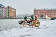 在雪的鸭子 免版税库存照片