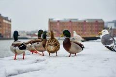 在雪的鸭子 库存照片
