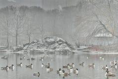 在雪的鸭子 免版税库存图片
