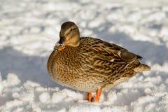 在雪的鸭子 免版税图库摄影