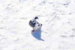 在雪的鸽子在太阳下 库存照片