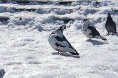 在雪的鸽子在太阳下 免版税库存图片