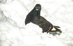 在雪的鸽子 免版税库存照片