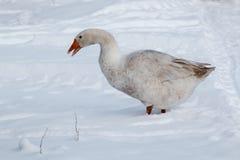 在雪的鹅步行 库存照片