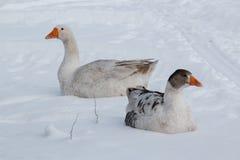 在雪的鹅步行 免版税库存图片