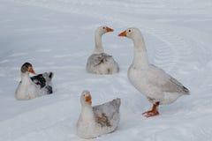 在雪的鹅步行 免版税库存照片