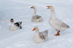 在雪的鹅步行 库存图片