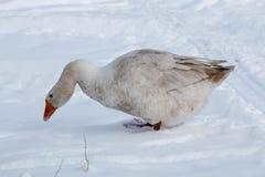 在雪的鹅步行 图库摄影