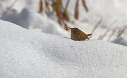 在雪的鹪鹩 免版税库存照片