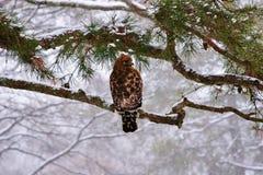 在雪的鹰 免版税库存照片