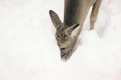 在雪的鹿 免版税库存图片