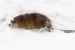 在雪的麝香鼠 图库摄影