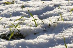 在雪的麦子新芽 免版税库存图片