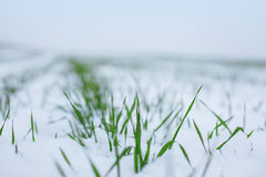 在雪的麦子 免版税库存图片
