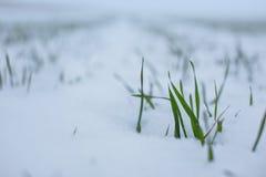 在雪的麦子 库存照片