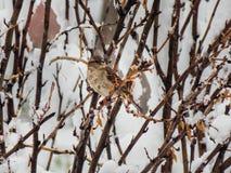 在雪的麻雀 库存照片