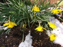 在雪的黄水仙耷拉,春天降雪 库存照片