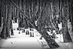 在雪的黑白塞浦路斯膝盖 库存图片