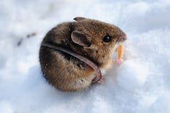 在雪的鼠标 免版税库存照片
