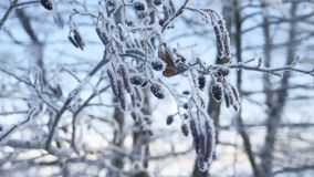 在雪的冻分支椴树在一个蓝天冬天自然风景 库存照片