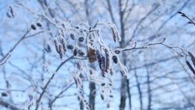 在雪的冻分支椴树在一个蓝天自然冬天风景 库存图片