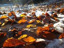 在雪的冻叶子 免版税库存图片