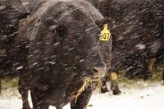 在雪的黑安格斯母牛 免版税库存图片