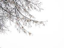 在雪的椴树 库存图片