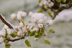 在雪的洋梨树开花 库存图片