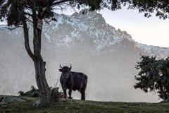 在雪的黑母牛加盖了可西嘉岛的山 免版税库存照片